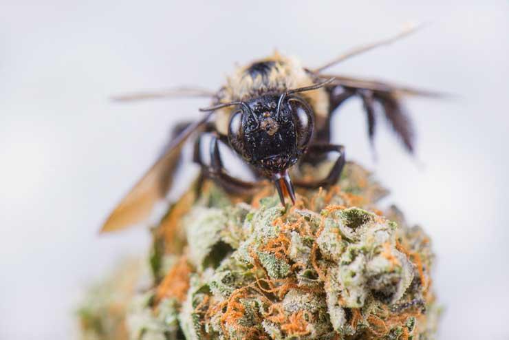 bee on cannabis flower