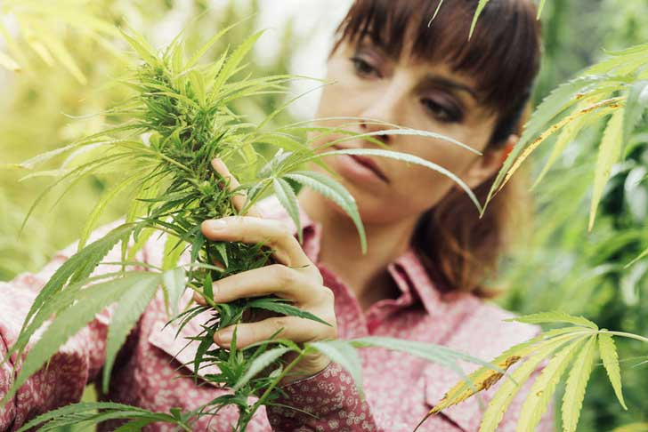 Cannabis allergies affect people working with hemp