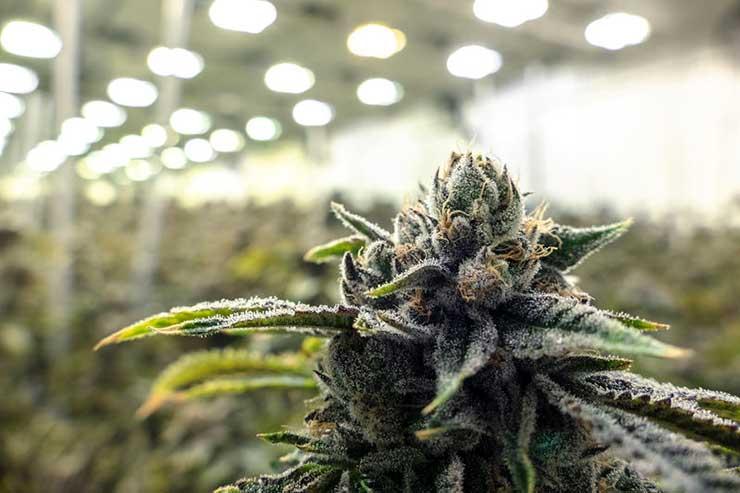 Marijuana growing at an indoor facility