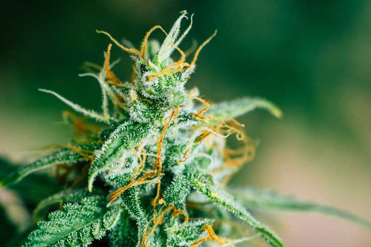 Close-up of a cannabis flower