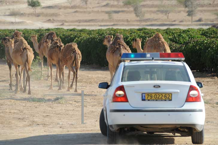 Israeli police and camels